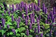 85 تن محصول گیاهان دارویی در ابرکوه برداشت شد