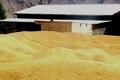 6500 تن گندم از گندمکاران هرمزگان خریداری شد