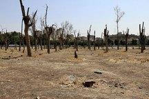صدها اصله درخت اوکالیپتوس در قرچک خشک شد