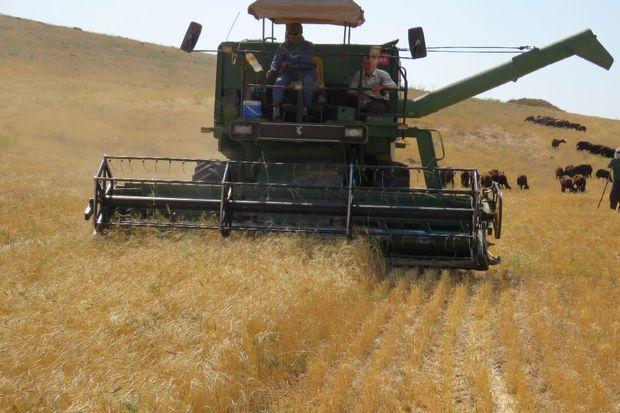 بیش از ۴۰ هزار تن گندم از کشاورزان روانسر خریداری شد
