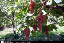 زمینه توسعه باغات استان کرمانشاه فراهم شده است