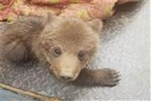 توله خرس قهوه ای به محیط زیست گیلان تحویل شد