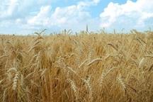 برداشت گندم در کهگیلویه 50 درصد کاهش یافت