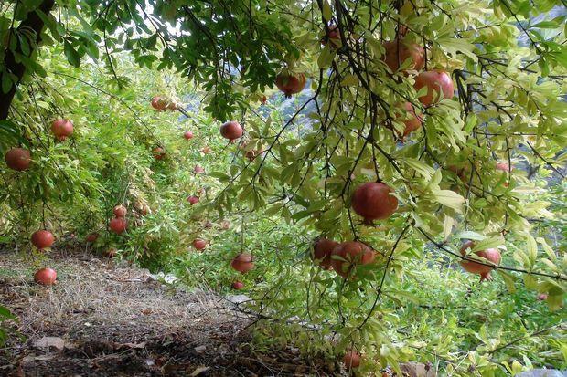 سه هزار و ۷۵۰ تن انار از باغهای داورزن برداشت شد