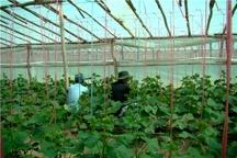 کارگران گلخانه ها بیمه شوند