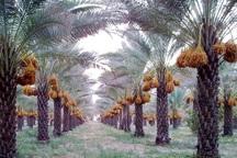 خرمای کبکاب دشتستان و تنگستان بوشهردر سازمان جهانی مالکیت فکری ثبت شد