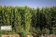 برداشت ذرت از ۳۸۰۰ هکتار مزرعه کهگیلویه و بویراحمد آغاز شد
