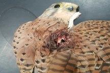 درمان یک قعطه پرنده دلیجه توسط محیط زیست پلدختر