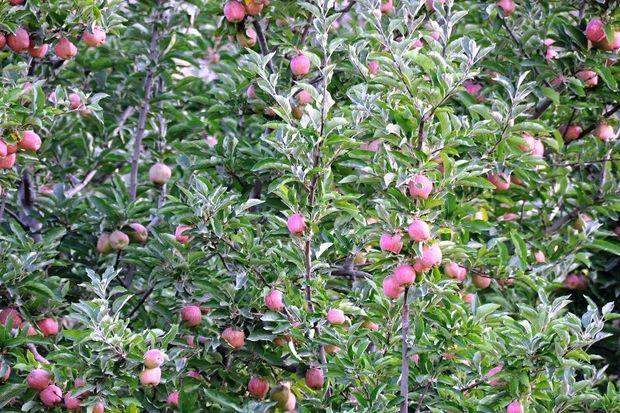 نرخگذاری برای سیب سمیرم تکذیب شد
