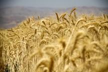 88 هزار هکتار از مزارع قزوین بیمه کشاورزی دارند