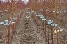 350 هزار اصله نهال در استان اردبیل توزیع می شود
