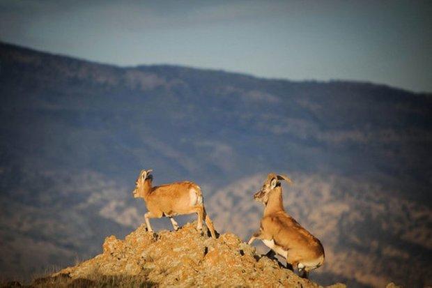 تغییر اقلیم در سمنان گونه های جانوری را تهدید می کند