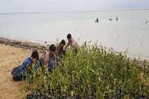 کاشت 20 هزار نهال حرا در بوشهر آغاز شد