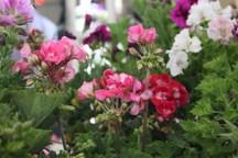 مصرف 90 درصد از 16.5 میلیون شاخه گل زینتی تولیدی یزد در دیگر استان ها