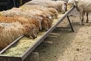 گوسفند زنده برای عید قربان چند؟