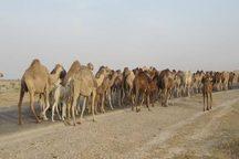 مهار 70 نفر شتر قاچاق در مرز سراوان