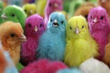 مردم از خرید جوجه های رنگی خودداری کنند