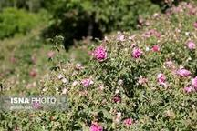 آذربایجان شرقی رتبه چهارم تولید گل محمدی در کشور
