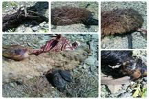 100 رأس گوسفند در حمله گرگ های گرسنه در محلات دریده شدند