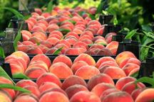 تولید محصول هلو و شلیل ابرکوه 20 درصد کاهش یافت
