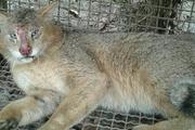 تلف شدن یک قلاده گربه وحشی در لرستان