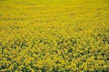 برداشت دانه روغنی کلزا در شهرستان شوشتر آغازشد