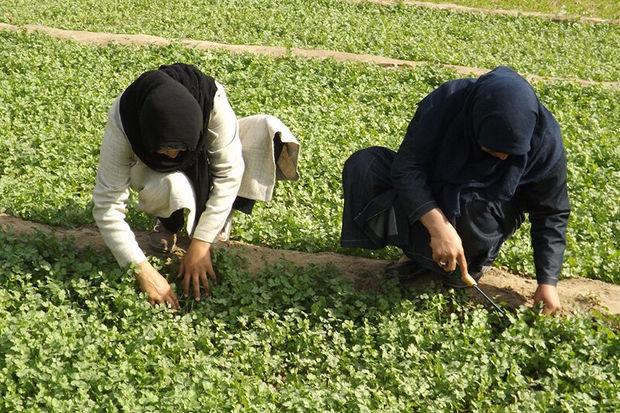 کردستان رتبه اول استانداردسازی محصولات کشاورزی را دارد
