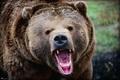 حمله خرس وحشی باعث زخمی شدن چوپان چرامی شد