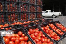 ۴۰ هزار تن گوجه فرنگی به نرخ حمایتی در خراسان رضوی خریداری شد