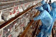 تولید تخم مرغ در البرز با 70 درصد ظرفیت انجام می شود