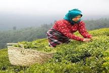 چین تابستانه برگ سبز چای کشور به پایان رسید