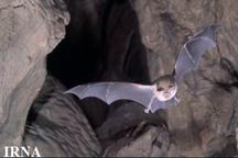 زیستگاه جدید تنها پستاندار پرنده در سراوان کشف شد