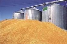 202 هزار تن گندم از کشاورزان استان ایلام خریداری شده است