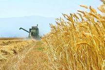 316 هزار تن گندم در قزوین تولید می شود