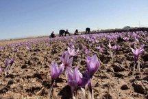 تولید زعفران  در استان مرکزی 30 درصد افزایش یافت