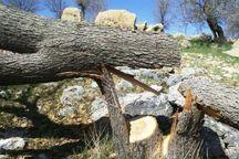 شهروند سنندجی بخاطر قطع درخت به مرجع قضایی معرفی شد