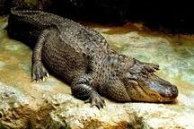 آبگیری برکههای زیست تمساح پوزه کوتاه در منطقه سرباز