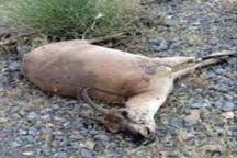 شکارچی بی رحم قوچ و میش آبستن روانه زندان شد