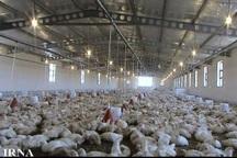 هیچ موردی از آنفلونزای مرغی در کرمانشاه مشاهد نشده است