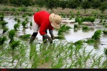 شالیکاران سنتیخور هر چه سریعتر نسبت به کشت برنج اقدام کنند