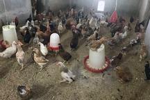ظرفیت مرغ بومی خزک سیستان به سه هزار قطعه ارتقا یافت
