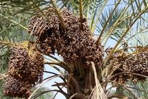 کاهش چشمگیر محصولات خرمای آبادان  تاثیر شوری آب بر روی محصولات دامی و کشاورزی منطقه