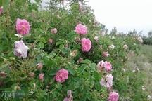 برداشت25 تن گل محمدی در شهرستان الیگودرز