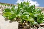 60 گونه گیاه درحال انقراض، نادر و آسیب پذیر در اصفهان شناسایی شد