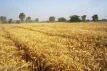 تند باد به ۵۰۰ هکتار از مزارع گندم در اندیمشک خسارت وارد کرد
