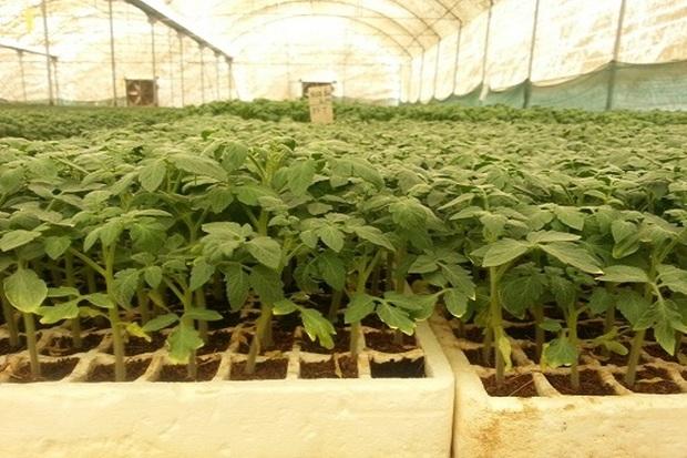 300 هزار اصله نشاء گیاهان دارویی در نمین تولید شد