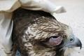 قاچاقچیان پرندگان شکاری به تحمل سه سال زندان محکوم شدند