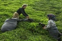 برداشت برگ سبز چای آغاز شد