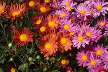 30 هزار بوته گل داوودی برای نشاط شهروندان در ارومیه کاشته شد