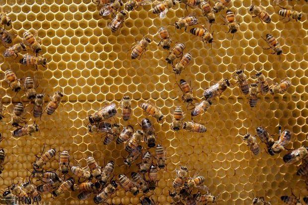 امسال یک هزار و ۱۰۰ تن عسل در گلستان تولید میشود